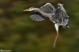 Airone cenerino-Grey Heron (Ardea cinerea)