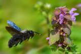 Xilocopa violacea