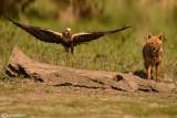 Marsh Harrier & Golden jackal
