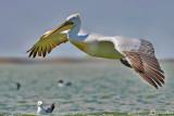 Pellicano riccio-Dalmatian Pelican (Pelecanus crispus