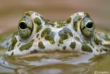 Rospo smeraldino-Green Toad (Bufo viridis)