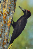 Picchio nero -Black Woodpecker (Dryocopus martius)