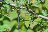 Somatochlora meridionalis