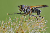 Tricophoda pennipes