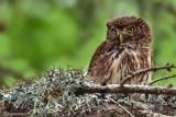Civetta nana-Eurasian Pygmy Owl (Glaucidium passerinum)