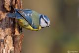 Cinciarella-Blue Tit(Cyanistes caeruleus)