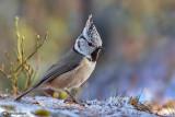 Sylvidae-Paridae