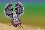 Callopistromyia annulipes
