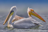 Dalmatian Pelican & Great White Pelican