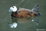 Gobbo rugginoso - White-headed Duck (Oxyura leucocephala)