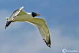 Gabbiano di Pallas -Great Black-headed Gull (Larus ichthyaetus)