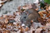 Ratto delle chiaviche-Brown rat  ( Rattus norvegicus )