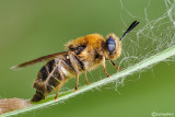 Stratiomydae sp