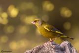 Verdone -European Greenfinch (Carduelis chloris)