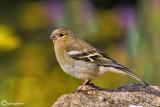 Fringuello- Chaffinch (Fringilla coelebs)