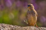 Passera lagia -Rock Sparrow(Petronia petronia)