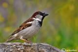 Passera oltremontana-House Sparrow (Passer domesticus)