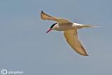 Sterna comune-Common Tern (Sterna hirundo)