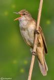 Cannareccione-Great Reed Warbler (Acrocephalus arundinaceus)