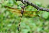 Oxigastra curtisii female