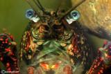 Gambero turco -Astacus leptodactylus