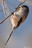 Codibugnolo- Long-tailed Tit(Aegithalos caudatus)