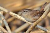 Scricciolo-Winter Wren (Troglodytes troglodytes)