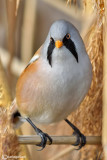 Basettino -Bearded Tit (Panurus biarmicus)