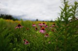 Purple Cone Flower in Landscape