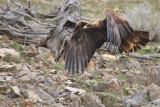 golden eagle in lamar valley