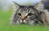 Orlando, our norwegian forest cat
