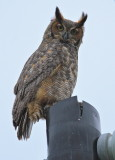 great horned owl, kissimmee florida