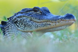 alligator smile