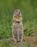ground squirrel in yellowstone np