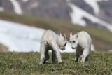 young mountain goats playing
