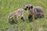 badger in lamar