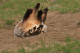 happy badger roll over