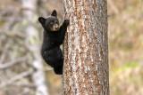 little black bear cub tree climbing