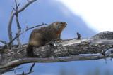 marmot in tree
