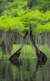 lake blue cypress