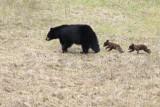 black bear family walking on the hill