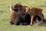 bison just born