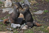 fighting marmot