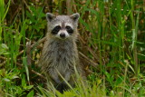 raccoon in the rain, stickmarsh florida