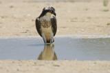 juvenile osprey fishing