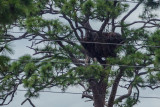 The eagles' nest - said to be 50 years old and 10 feet across.