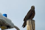 Falcon or Hawk 06_29_13.jpg