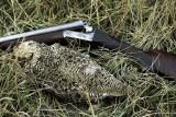 gun sharptail.jpg