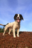 Eilein is a Springer Spaniel