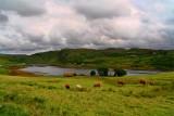 Cows at Bracadale Isle of Skye